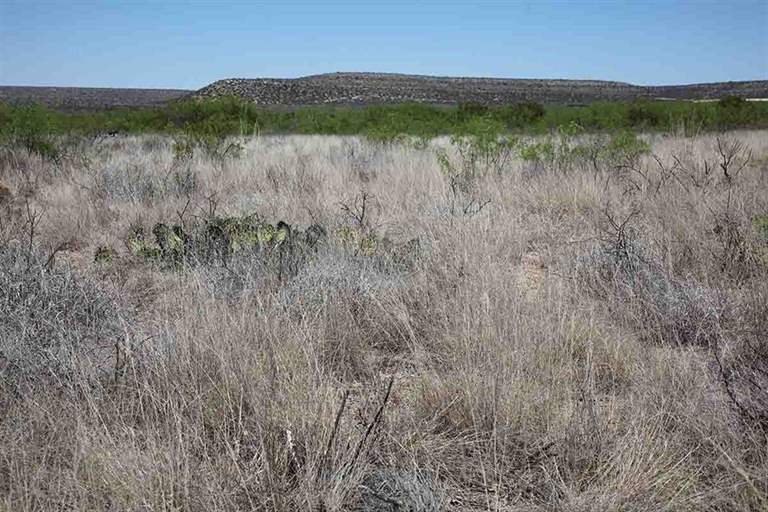 This photo shows the restored shortgrass prairie as a result of treating tarbush.