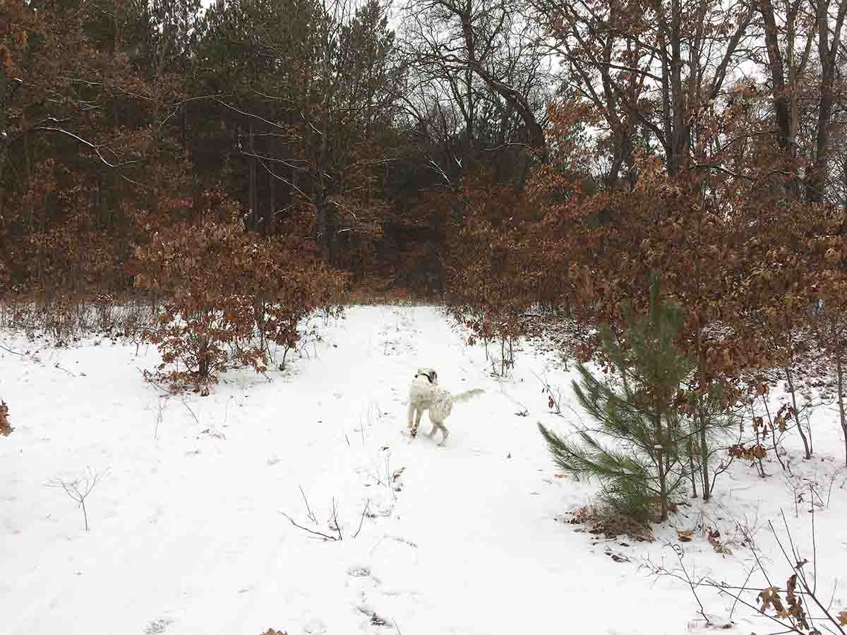 Lily shows signs of a point chasing one of the grouse in a Shake 'n Bake follow-up. (Photo/Ron Barger)