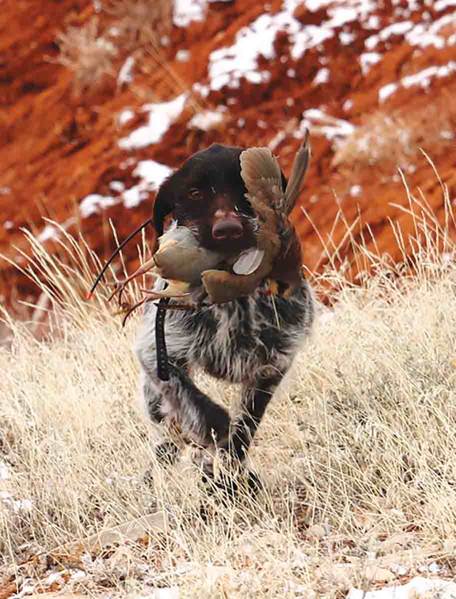 Fast Eddy, a wirehaired pointing griffon, packs a chukar out of a Wilderness Study Area. (Photo/Tom Healy, Vice Chair, Montana Backcountry Hunters & Anglers)
