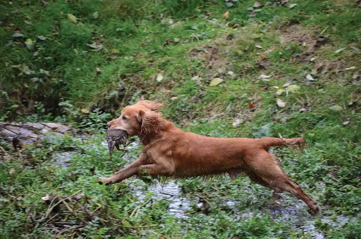 For a dog enthusiast, watching the retrievers in action is a treat.