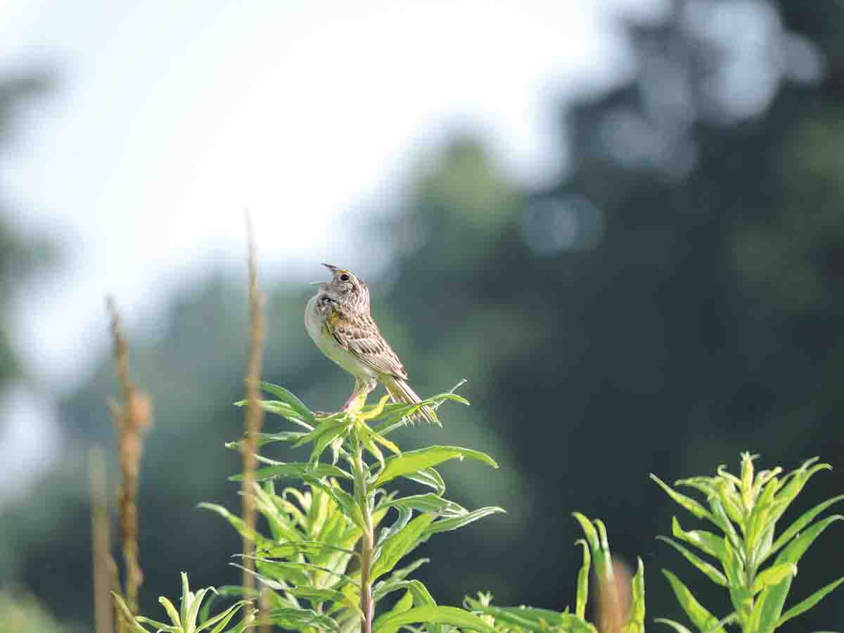 Grasshopper sparrows, shown here on the Leighs' property, have experienced a 72% decline in population since 1966.