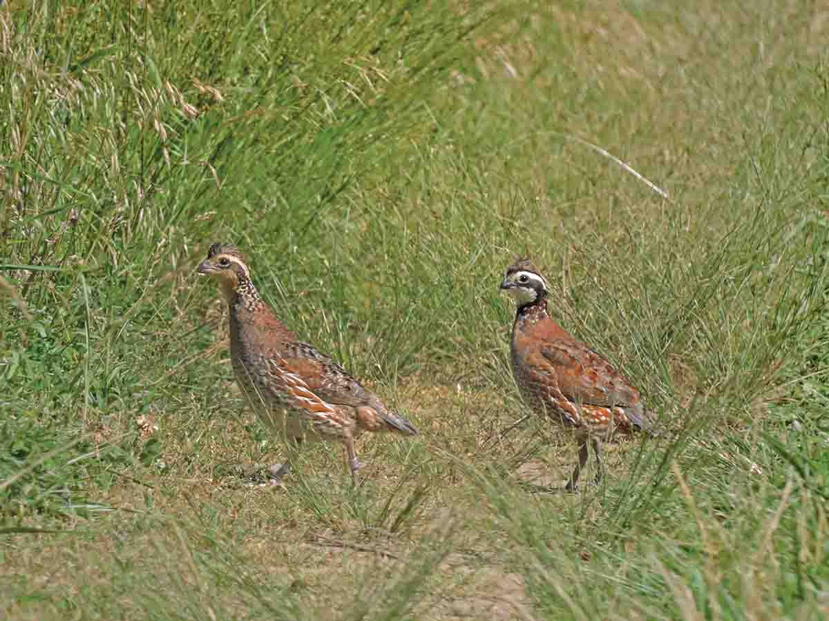 Two in the bush at the RAFC.  (Photos/courtesy of Dan Small)