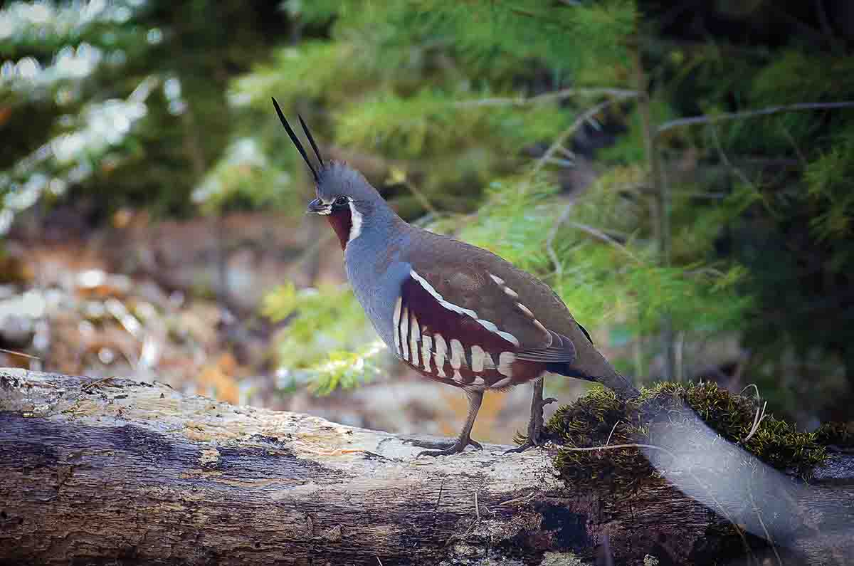 When sighted, mountain quail become elusive. Here, a regal-looking bird scurries away when spotted. (Photo/Matthew Gerlach)