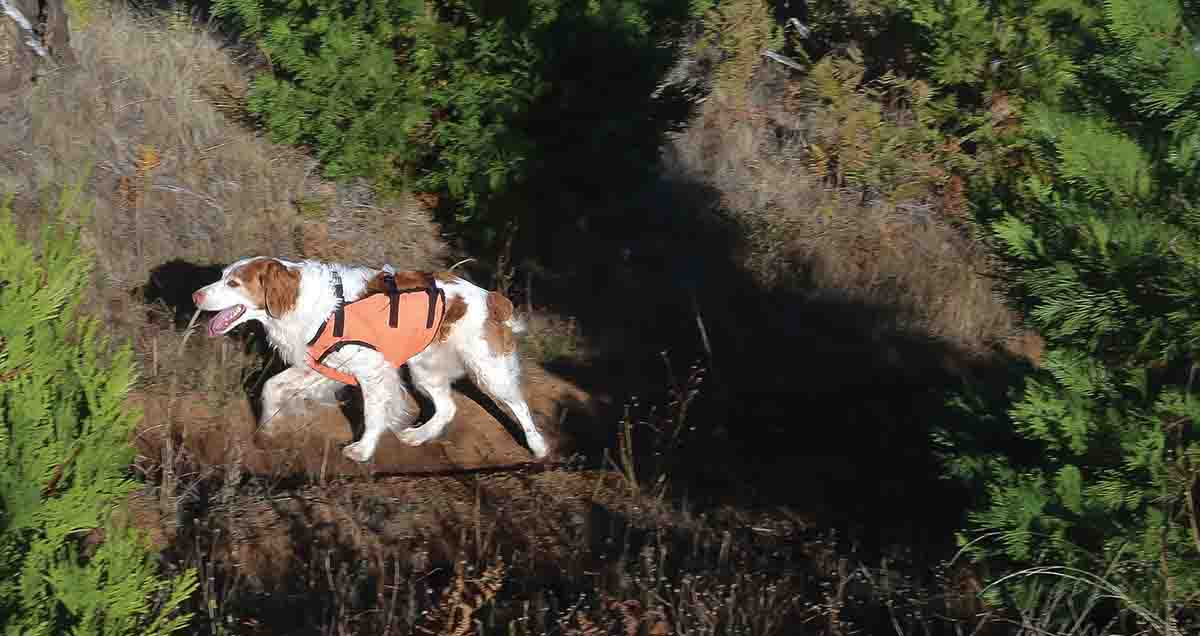 An experienced mountain quail dog, Parker, at 12 years old, searches the slopes for quail. (Photo/Glenn Zinkus)
