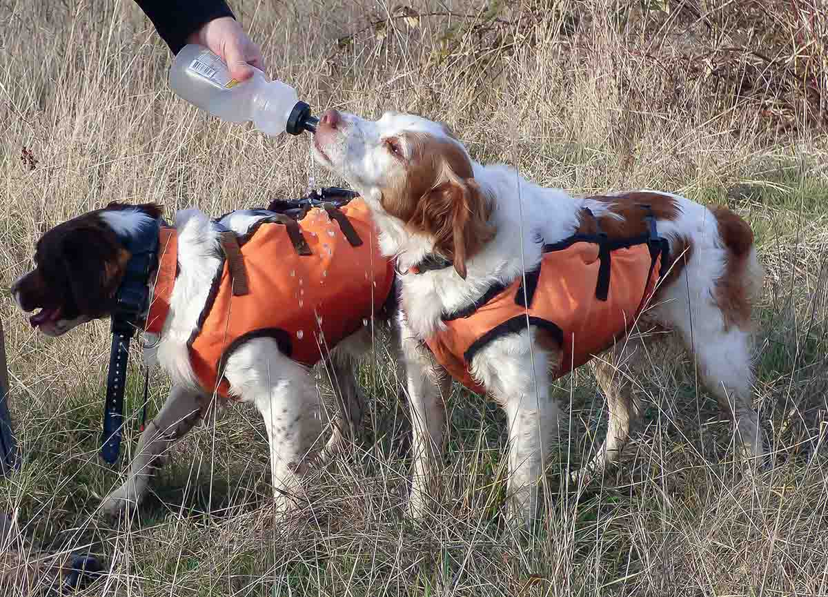 Early season quail hunting can be dry, and dogs require regular water breaks. (Photo/Tuen Zinkus)