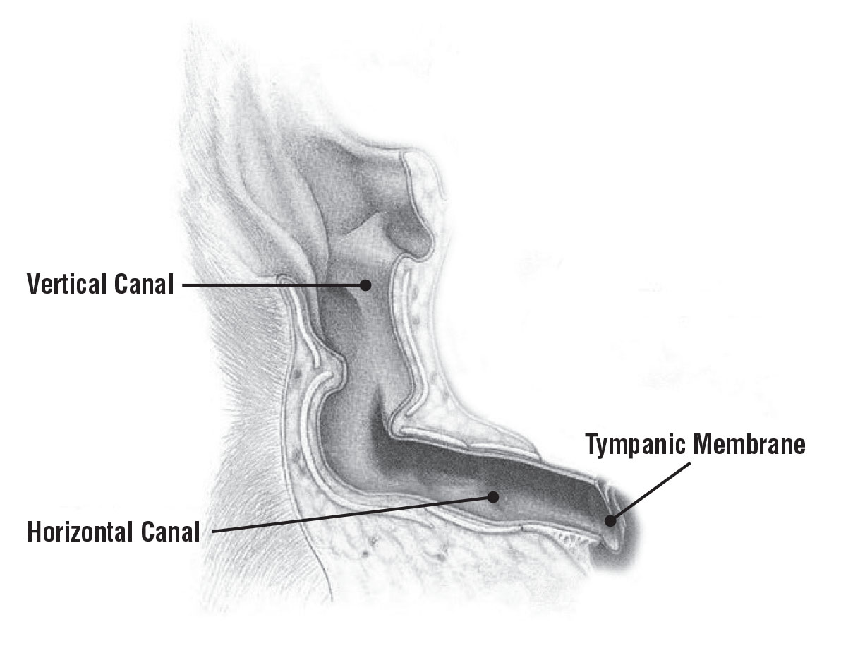 As the shaded area in this diagram shows, a dog's external ear canal consists of both a vertical and a horizontal canal that meet to form an L shape that protects the tympanic membrane (eardrum) but that also creates an effective trap for water and debris. (Illustration/Adaptation of an image ©Hill's Pet Nutrition)