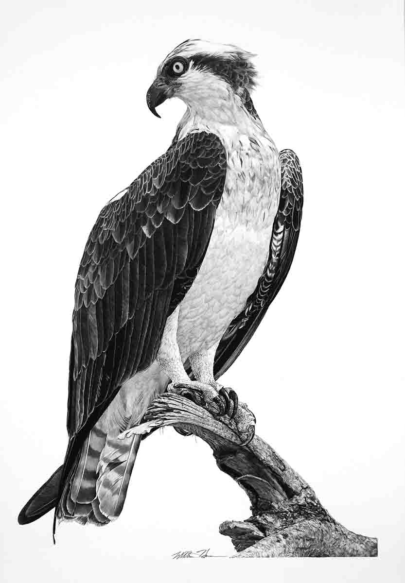 "Osprey 2: ""I love ospreys. They're just such incredibly elegant birds, fantastic birds,"" says Harrison. Harrison's inspiration for this piece came from watching hundreds of ospreys catch discarded bait – golden shiners from a bass fishing trip on Florida's St. John's River. ""The whole attitude of it, the twist of his head, just captures the essence of osprey really well,"" says Harrison."