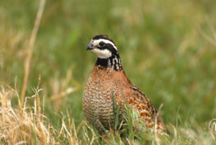 The bobwhite quail population in South Carolina continues to decline.