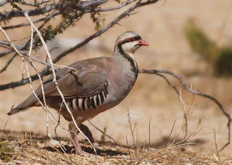 Chukar is one of the main species impacted negatively by wildfires that are burning with increasing frequency in Great Basin sage and shrub habitat. (Photo/Jim Matthews)