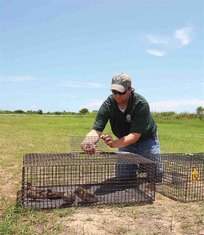 LDWF biologist James Whitaker removes a dove from a walk-in trap and places it in a temporary holding crate. (Photo/John K. Flores)