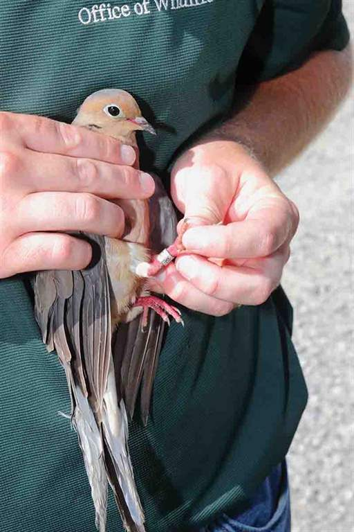 This adult male mourning dove was banded by LDWF biologist James Whitaker on Rockefeller Wildlife Refuge. (Photo/John K. Flores)