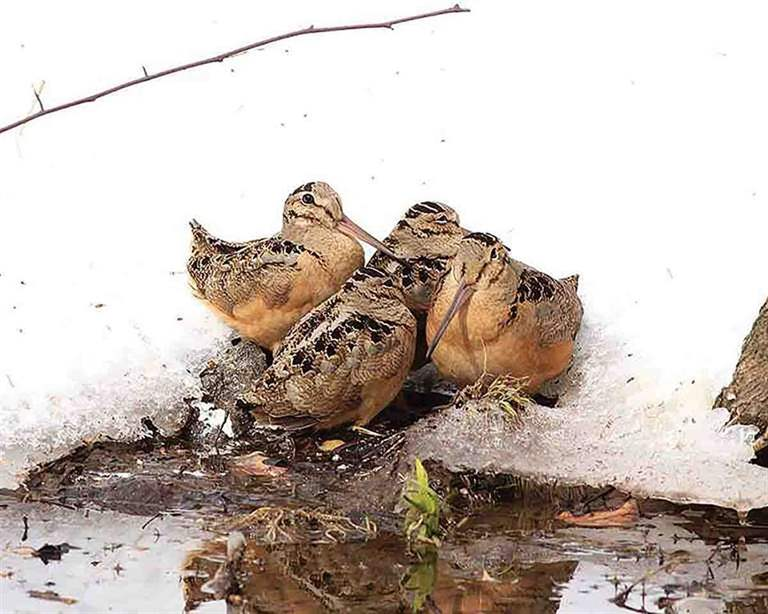 Woodcock huddle together in Central Park in New York City following a March 2017 snowstorm. Food-stressed woodcock are at increased risk of starvation and predation. (Photo/Thomas Schuchaskie, from Facebook March 15, 2017)